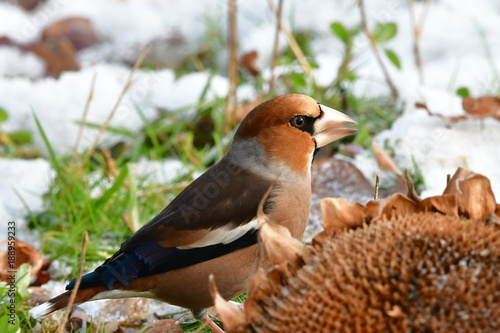 Fotografering hawfinch during winter time