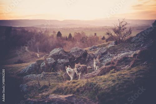 Photo Tschechoslowakisches Woflshundrudel freilaufend im Gebirge