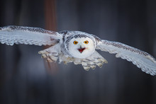 Attacking Snowy Owl Bubo Scand...