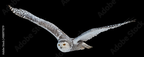 Staande foto Uil Isolated on black background, flying beautiful Snowy owl Bubo scandiacus. Magic white owl with black spots and bright yellow eyes flying with fully outstretched wings. Symbol of arctic wildlife.
