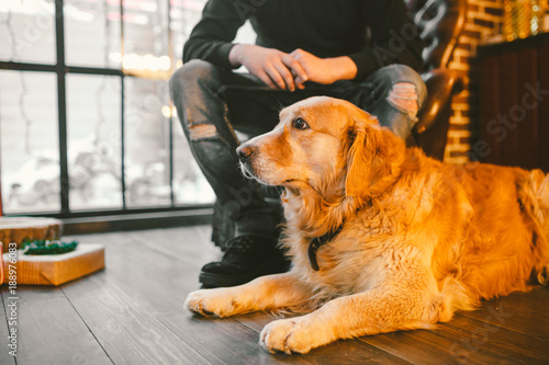 Adult Dog A Golden Retriever Abrador Lies Next To The Owner S Legs