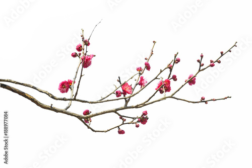 Fototapeta Plum Blossom in early spring. Located in Plum Blossom Hill, Nanjing, Jiangsu, China. obraz