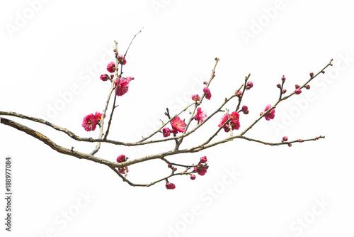 Obraz Plum Blossom in early spring. Located in Plum Blossom Hill, Nanjing, Jiangsu, China. - fototapety do salonu