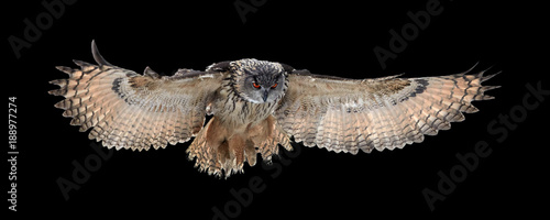 Poster Uil Isolated on black background, Eagle owl, Bubo bubo, giant owl flying directly at camera with fully outstretched wings. Owl with bright orange eyes. Nocturnal bird of prey in back light.
