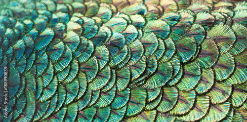 Paon Peacocks, colorful details and beautiful peacock feathers.