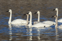 A Flock Of Adult And Young Trumpeter Swans (Cygnus Buccinator) In A Lake, Saylorville Lake, Iowa, USA