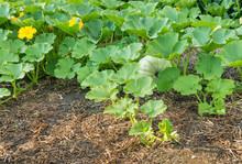 Field Pumpkin Growing In Organ...