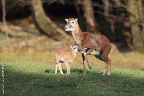 Fotobehang Ree european mouflon ( Ovis orientalis ) on the grassland/wild animal in the nature habitat, Saxony , Germany