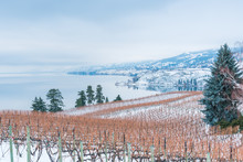 Rows Of Grapevines In Snow Cov...