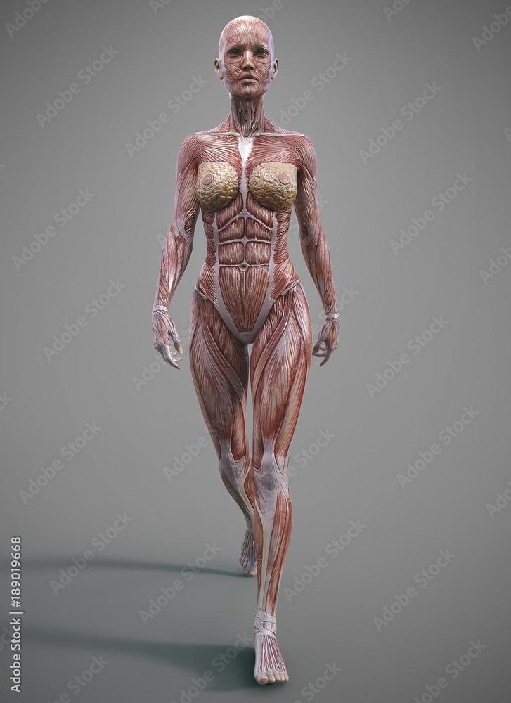 Female Muscle Skeleteon And Anatomy Foto Poster Wandbilder Bei