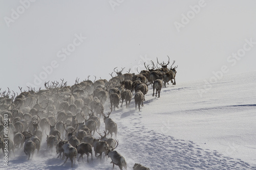 Photo  A large herd of reindeers running along the slope of a snow-covered hills