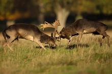 Two Male Fallow Deer Fighting ...