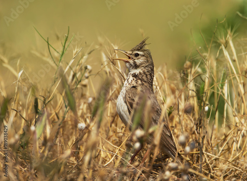 Fotografija Crested lark calling in the meadow