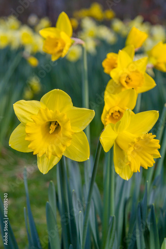Deurstickers Narcis A Field of Daffodils