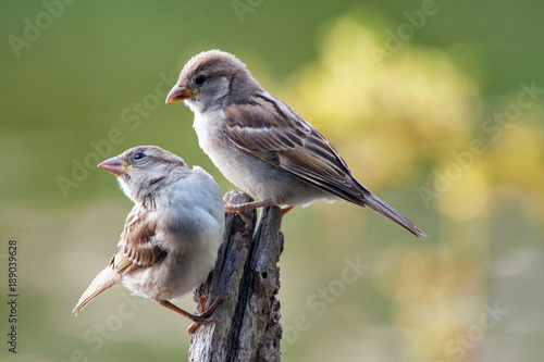 Fotografía Two House Sparrow (Passer domesticus) sitting on a stick