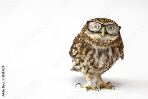 Little Owl wearing glasses, (Athene noctua) standing on a white background