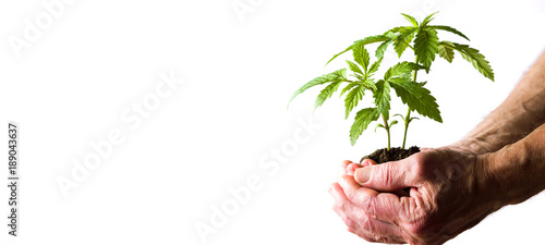 Recess Fitting Plant Hand holding marijuana leafs with root
