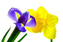 Beautiful Blooming Iris And Narcissus On White Background