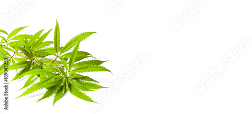 Photo  Marijuana branches isolated on white