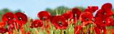 Fototapeta Kwiaty - red poppy flowers in a field