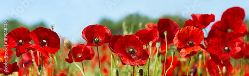 Obraz red poppy flowers in a field - fototapety do salonu
