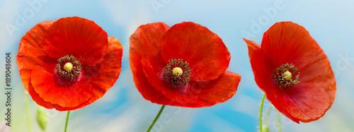 Poster Poppy red poppy flowers over blue sky