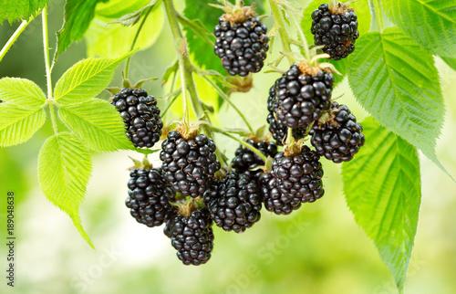 ripe blackberry in a garden