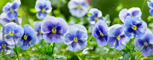 Spoed Foto op Canvas Pansies pansy flower growing in the garden