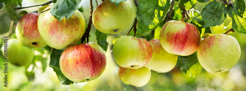fresh ripe apples on a tree Fotobehang
