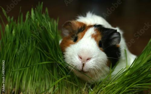 Fotografía cute guinea pig into grass