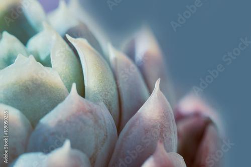 Dettaglio agave succulent pianta grassa, azzurra, dai colori delicati, macro Fototapet