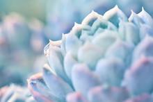 Dettaglio Agave Succulent Pianta Grassa, Azzurra, Dai Colori Delicati, Macro