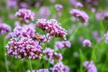 Purple Verbena Tiny Flowers Wi...