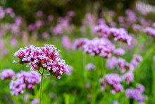 Purple Verbena Tiny Flowers In...