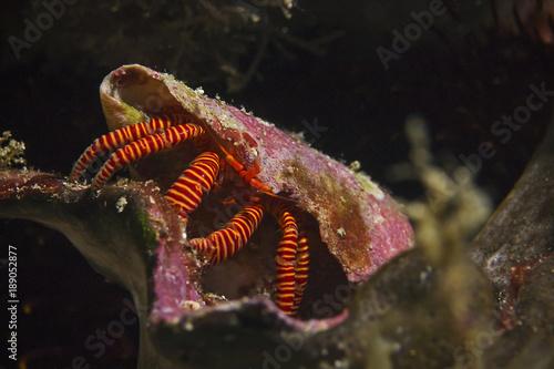 Halloween Hermit Crab, Ringelsocken-Einsiedlerkrebs (Ciliopagurus strigatus)