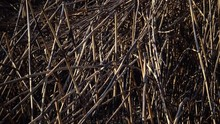 Dry Cane Burned During A Fire ...