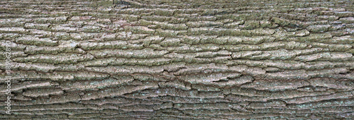 Fotografía  Relief texture of the bark of oak with green moss and blue lichen on it