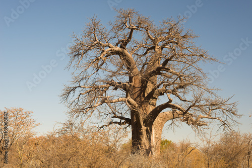 Keuken foto achterwand Baobab Baobab plant in the african savannah with clear blue sky. Botswana, one of the most attractive travel destination in Africa.