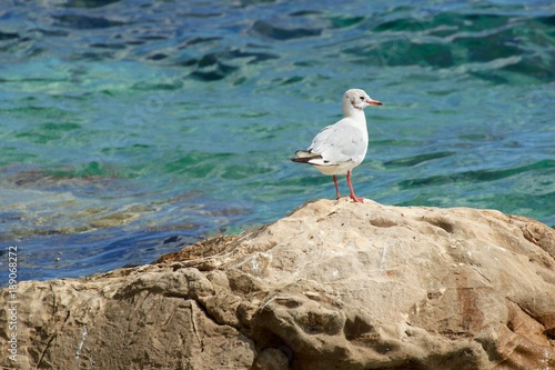 Beautiful gulls on the shore of the Adriatic Sea in Croatia Poster