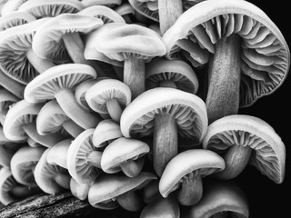 Group of forest mushrooms. Black and white image.
