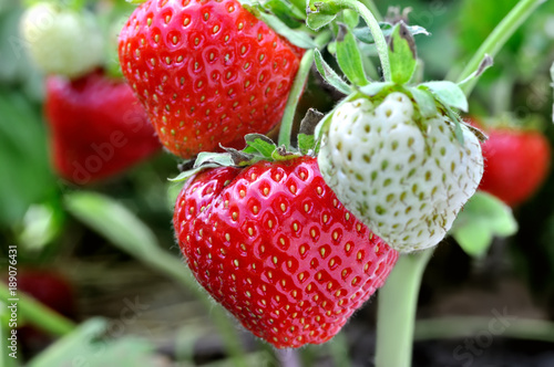 close-up of ripening strawberry in the vegetable garden Tablou Canvas