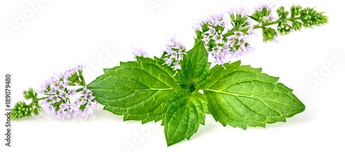 purple peppermint flowers isolated on white