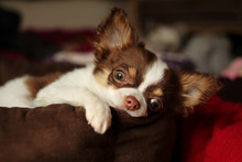 Chihuahua Dog Lying On A Dog Bed