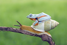 Tree Frog Sitting On A Snail