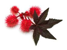 Castor Oil Plant, Fruit Ricinu...