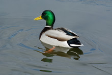 Mallard Duck Drake Swimming In...