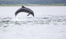 Wild Bottlenose Dolphin Tursio...
