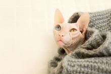 Bald Frozen Cat Of The Sphynx Breed. Color Pink White. Blue And Green Eyes. Sad. Wrapped In A Warm Cozy Blanket.