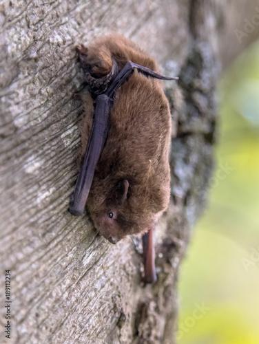 Nathusius pipistrelle bat on tree