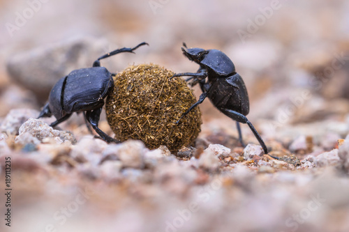 plugging dung beetles solving problems